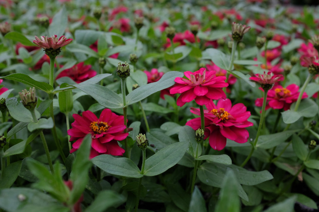 Zinnia hybrida 'Profusion Double Hot Cherry'