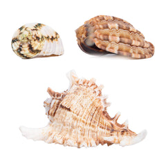 Large Hermit Crab Shells for Adult Crabs,3 Pack Different Types Natural Seashells No Painted Changing Shells,1 to 2 inch Opening Width