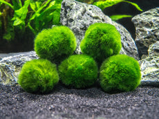 Aquatic Arts 5 Marimo Moss Balls - Small/Nano Aquarium Ball Set. Unique Decor for Aquariums and Glass Jar Terrarium Kits. Natural Habitat/for Live Fish, Pet Shrimp, Sea Monkeys, and More