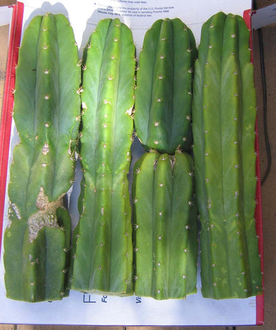 "Two 12"" top cuts Echinopsis pachanoi  Trichocereus pachanoi known as San Pedro cactus"