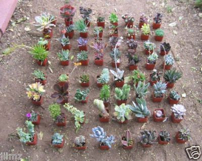 Assorted Succulent Collection (36)