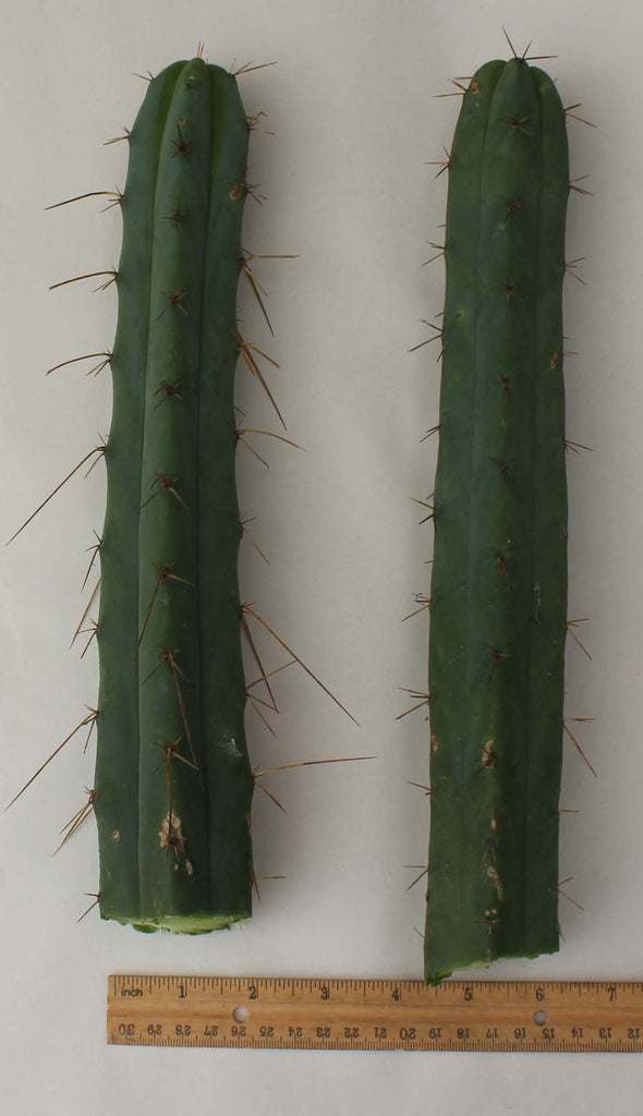 1 Ji12 Trichocereus Achuma Bridgesii Cactus Top Cuts From Jiimz Nursery