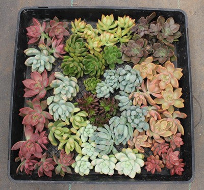 Rosette Succulent Cuttings for Living Walls (100)