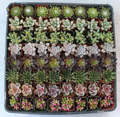 Lovely Variety Succulents (128)