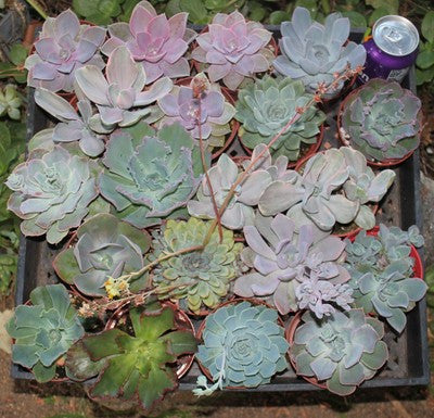 Gorgeous Echeveria Succulents (20)