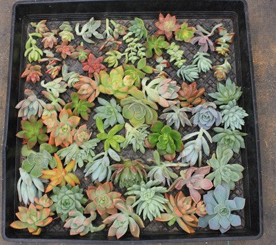 Rosette/Flower Succulent Cuttings (50)