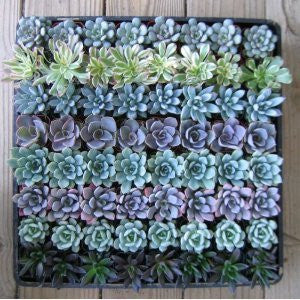 Fun & Funky Succulents Perfect Wedding Favors (100)