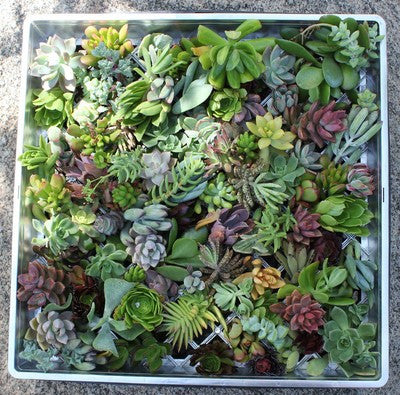 Succulent Cuttings for Living Walls (100)
