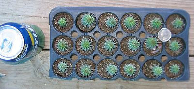 Hoodia Gordonii seedlings (6) APPETITE SUPPRESANT SUCCULENT PLANTS