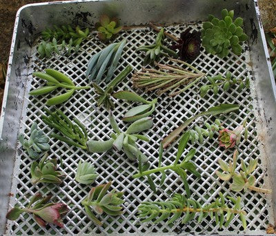Succulent Cuttings (25)
