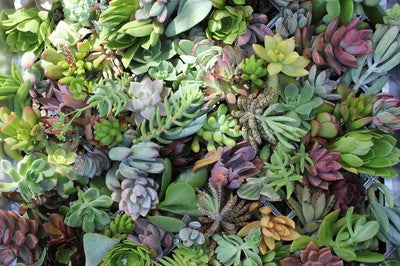 Succulent Cuttings for Living Walls (200)