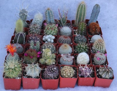 Assorted Cactus Collection (36)