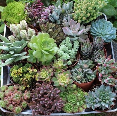 20 Assorted Succulent Collection 4 inch pots (20)