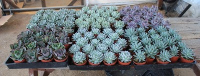 Echeveria Rosette Succulents set of 10