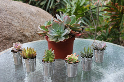 Succulents in Silver Pails (30) with Complete Wedding Favor Kit