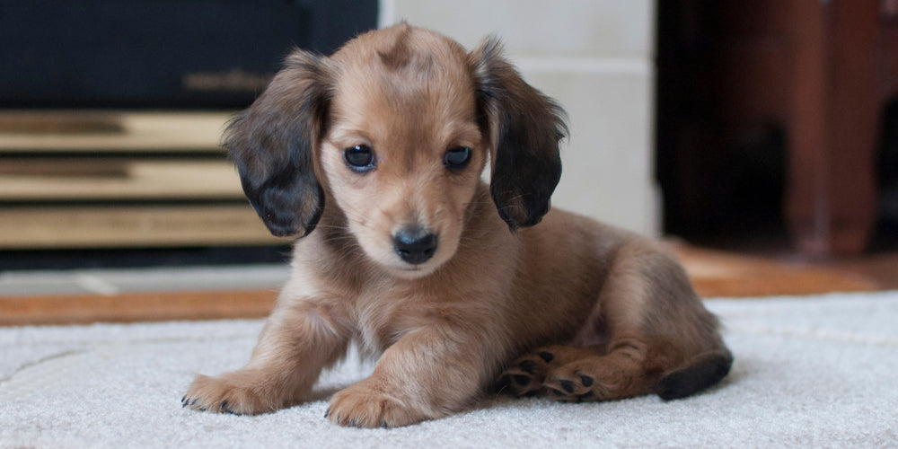 5 Reasons Why Your Doxie Doesn't do Well in Training