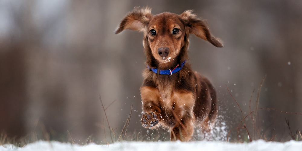 Are Dachshunds happier in cold or warm environments?