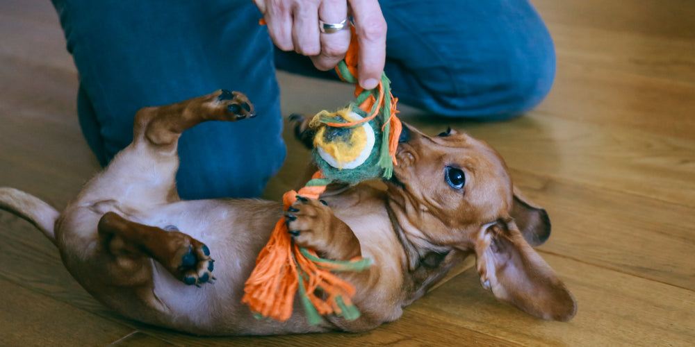 Can Dachshunds be Apartment Dogs?