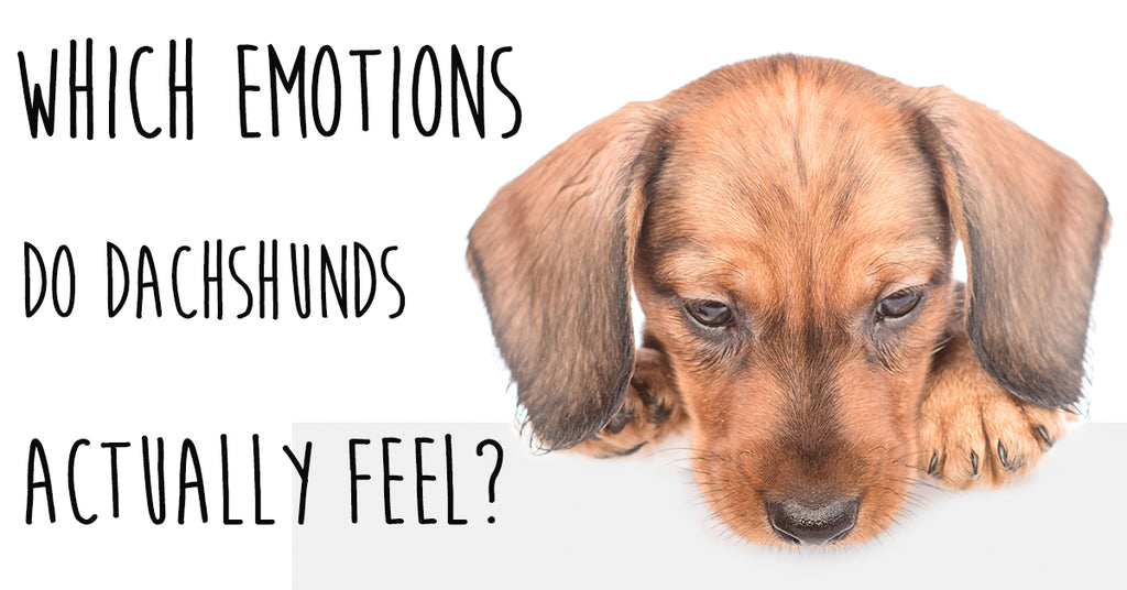 Which Emotions do Dachshunds Actually Feel?