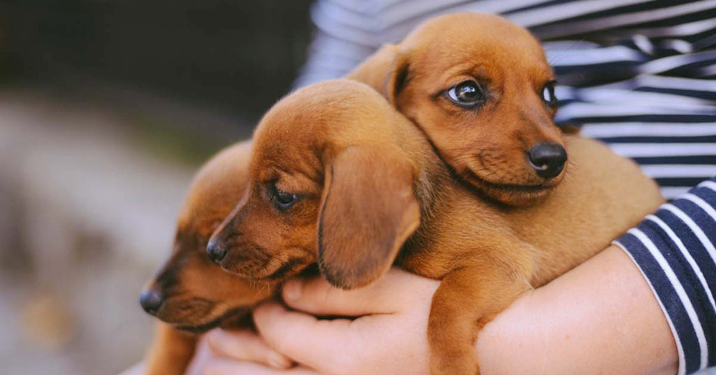 5 Ways to Prepare your Home for a New Dachshund Puppy