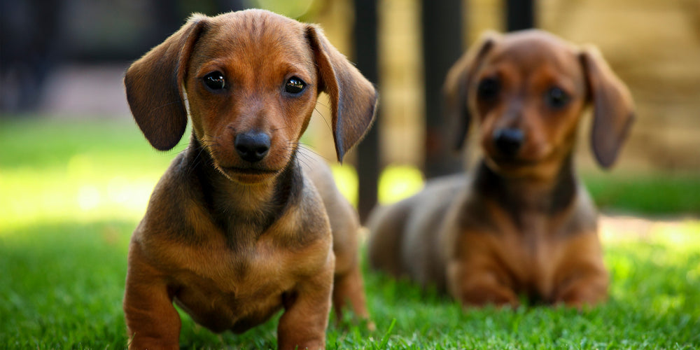 When My Baby Dachshund Becomes an Adult: What Changes?