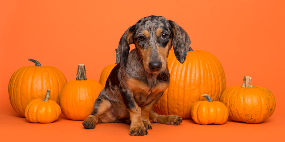 Dachshund Halloween What To Do If Your Dog Gets In The Candy Jar