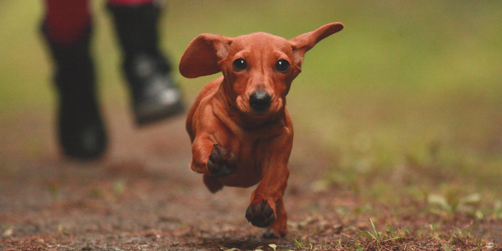 Dachshund Running To Save Your Life