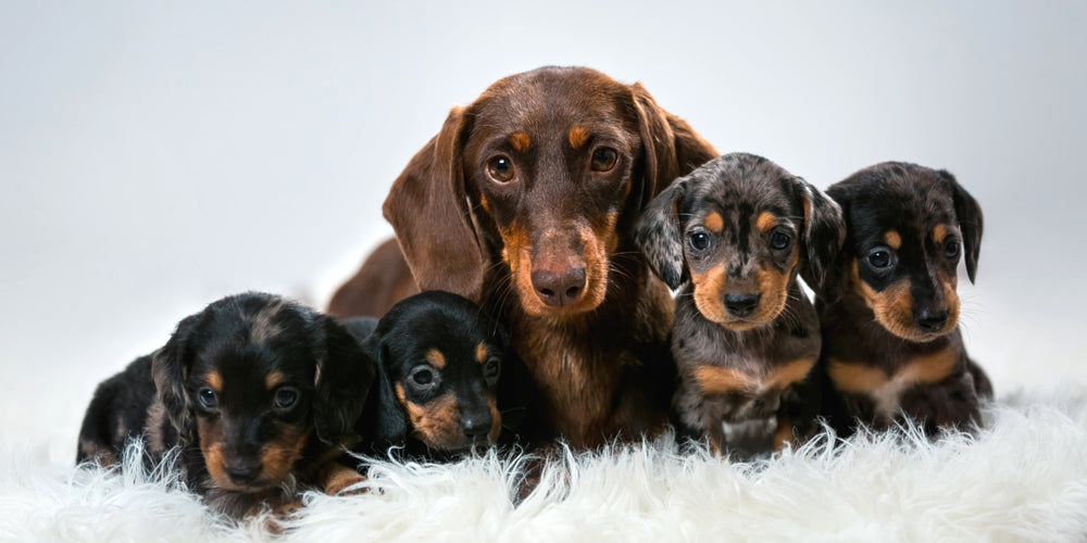 Do Dachshund Breeds Live Longer Than Other Breeds?