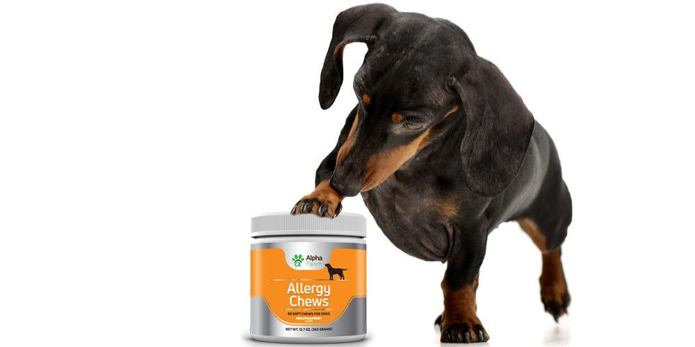 Achoo! 3 Signs Your Dachshund Has Allergies!