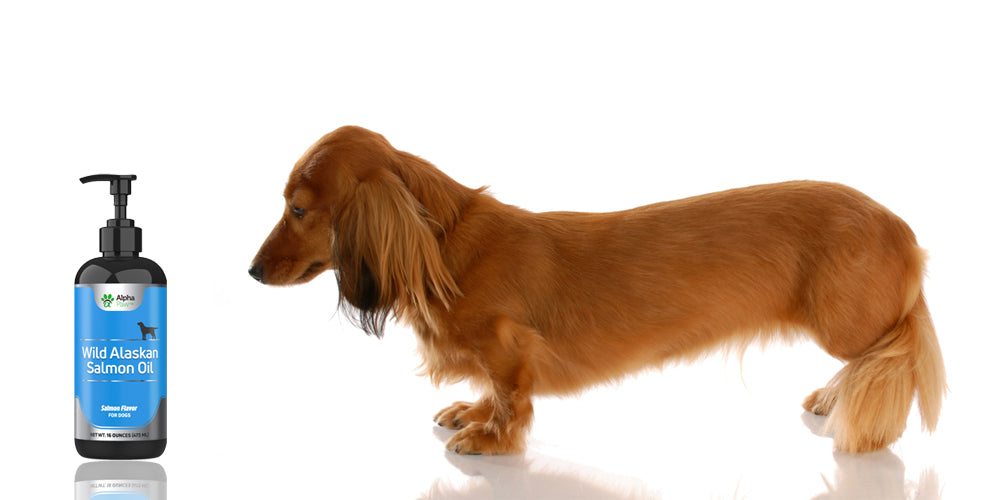 3 Tips for Shinier and Healthier Dachshund Fur!
