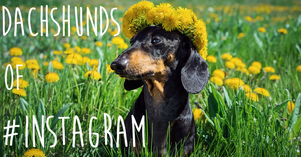 6 Dachshunds on Instagram You Should be Following