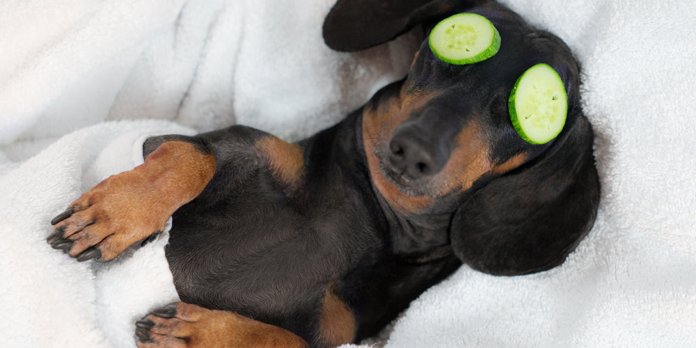 How To Show Love To Your Dachshund?
