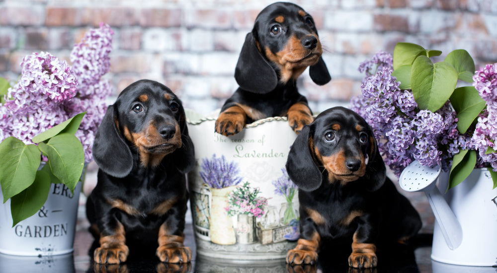 how social are dachshunds
