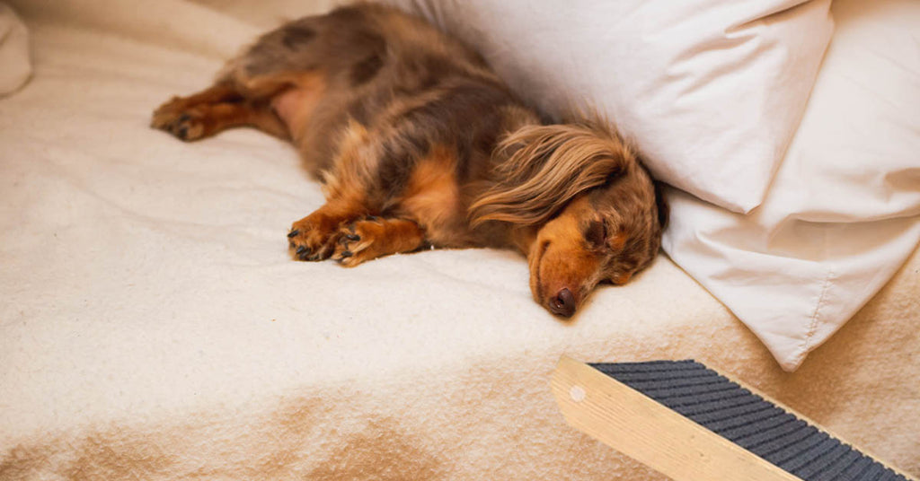 How to train your Dachshund to use a Dog Ramp – Sausage Dog Central