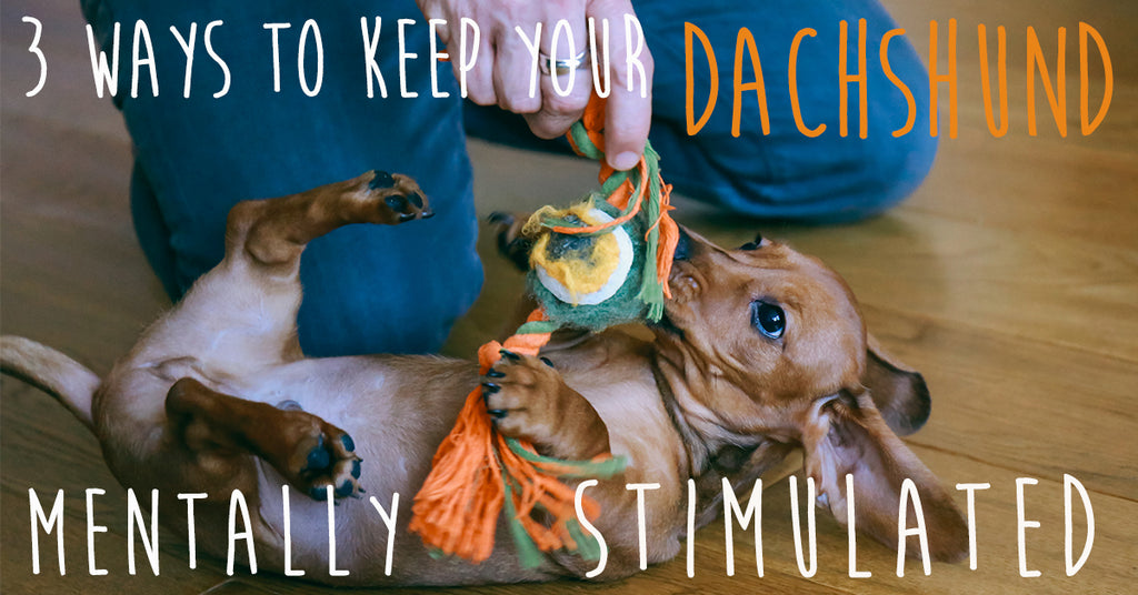 3 Ways to Keep Your Dachshund Mentally Stimulated