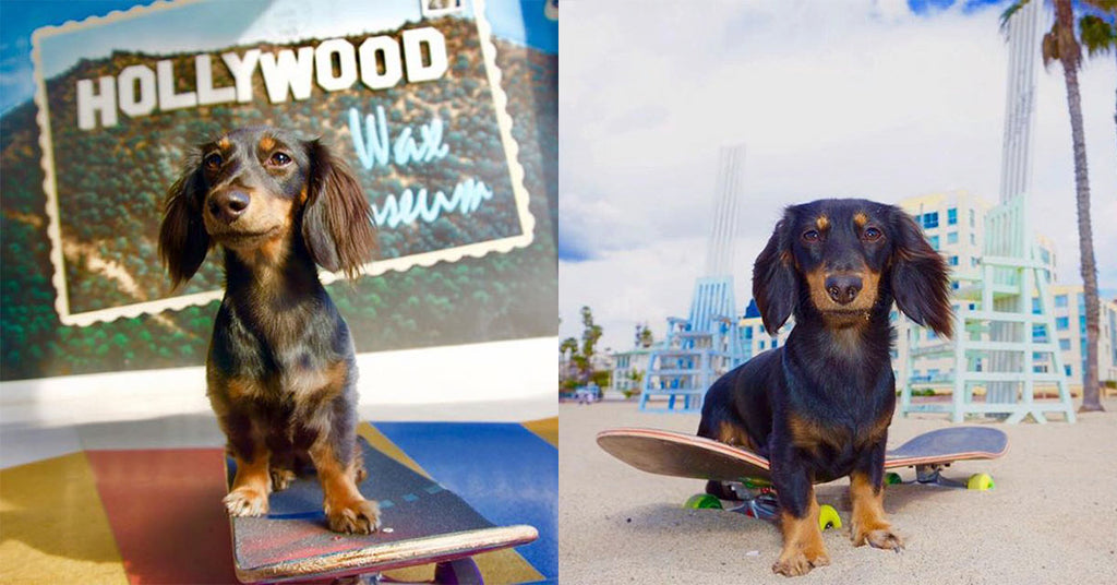 Meet the Tony Hawk of Dachshunds - Rowdy!