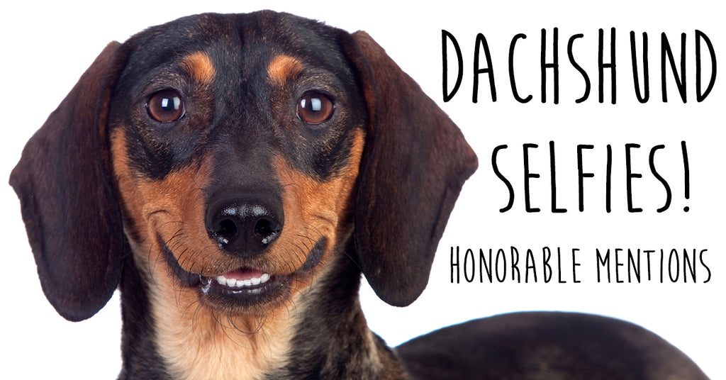 Best Dachshund Selfie Honorable Mentions