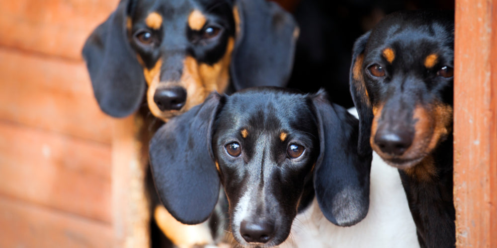 Where Does the Dachshund Breed Originate From?