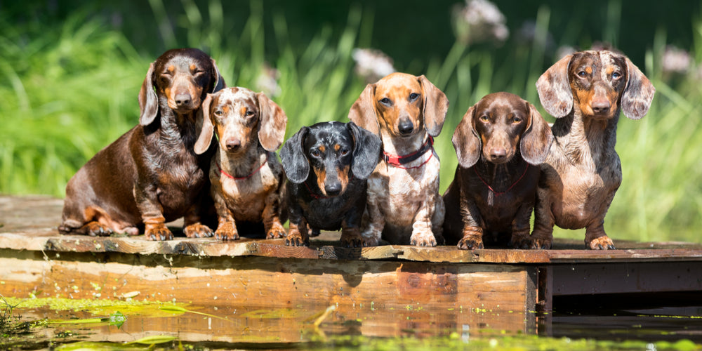 Why We Need Our Dachshunds
