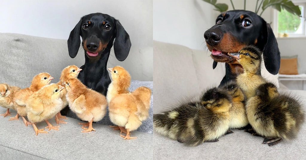 This Dachshund Loulouminidachshund is a total chick magnet!