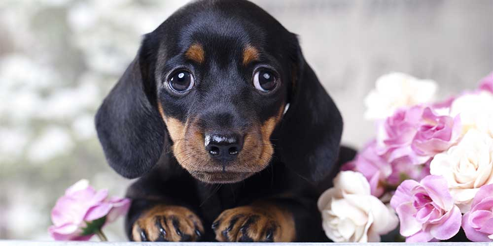 Is Owning a Dachshund Expensive?