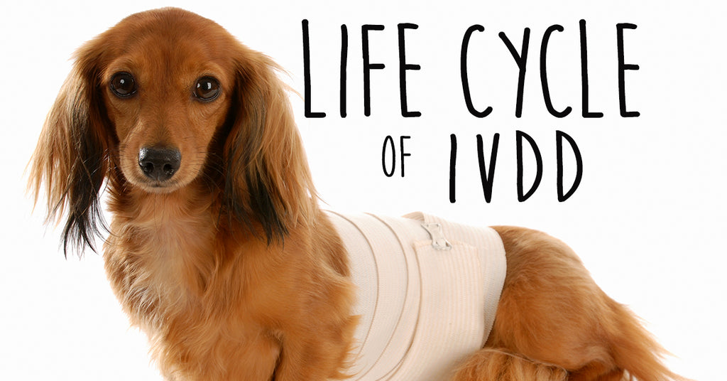 Life Cycle of IVDD