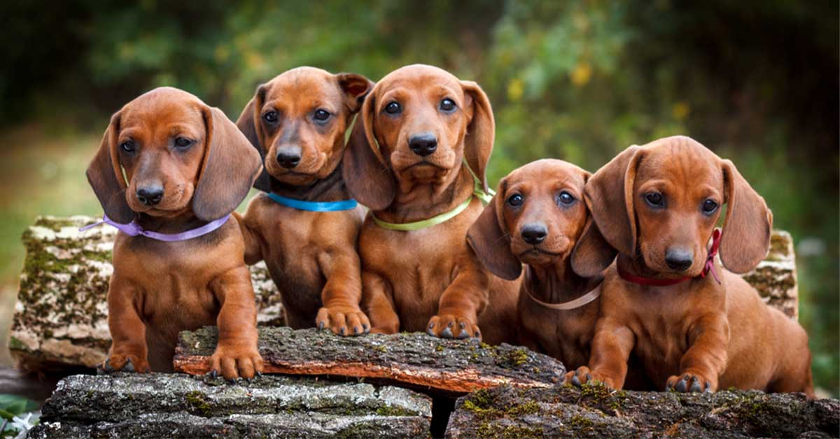 preventing IVDD in dachshunds