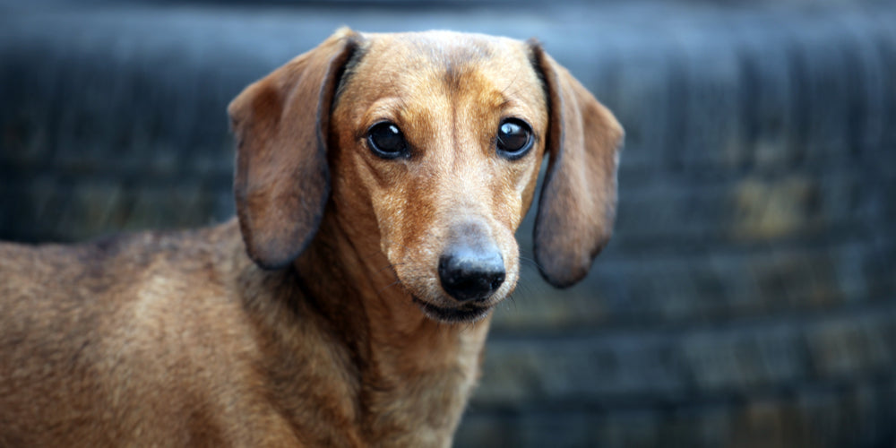 Can Dachshunds Be Service Dogs?