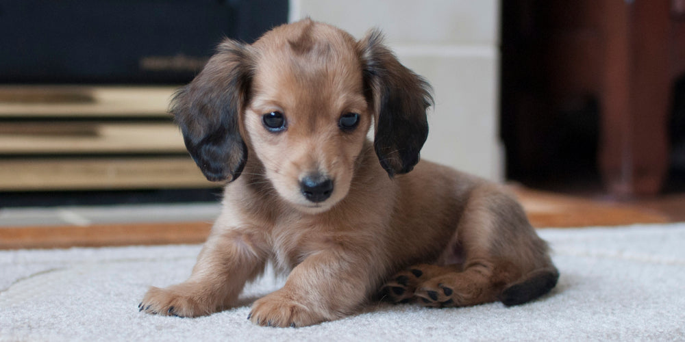 Does your Dachshund Disobey You? YOU Might Be the Problem