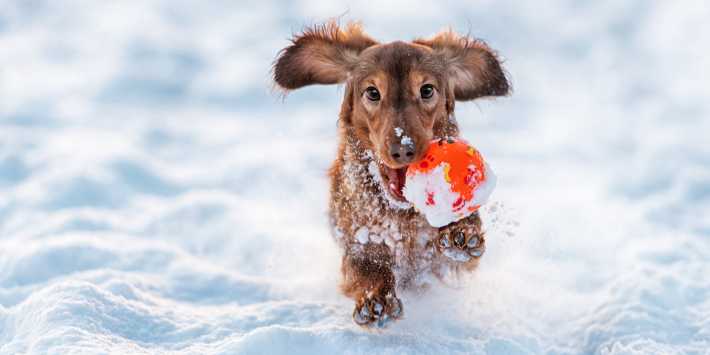 How to Protect your Dachshund from Freezing Winter