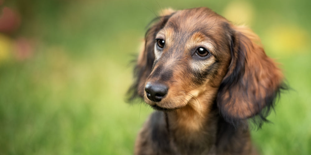 How to Clean Your Dog's Ears and Avoid Infections