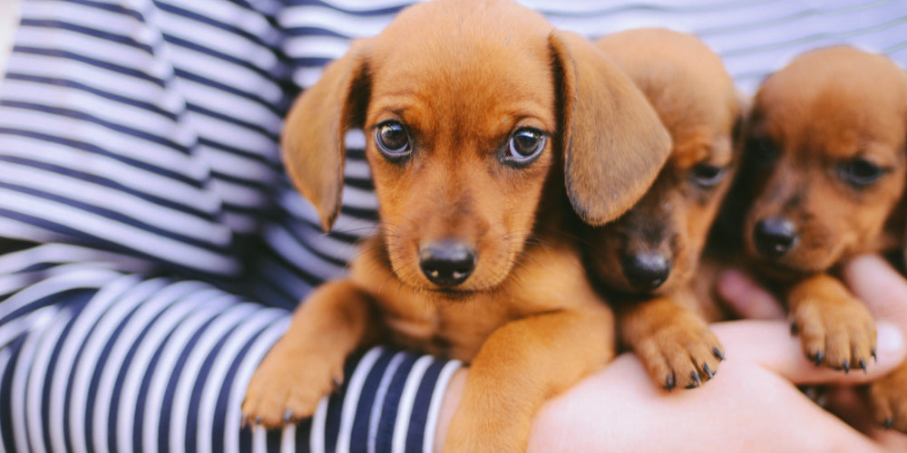From Rescue to Forever Home How to Successfully Transition Your Rescue Dachshund
