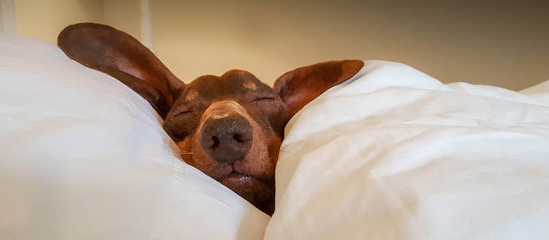 Why Owning a Dachshund is Great for your Health