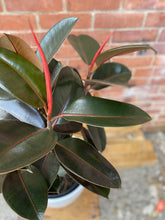 Load image into Gallery viewer, 9.5-inch Rubber Plant